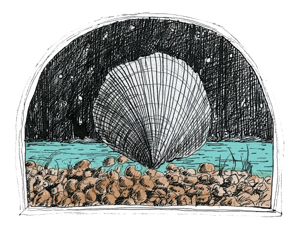 Pectinidae sketch Andrew Henderson